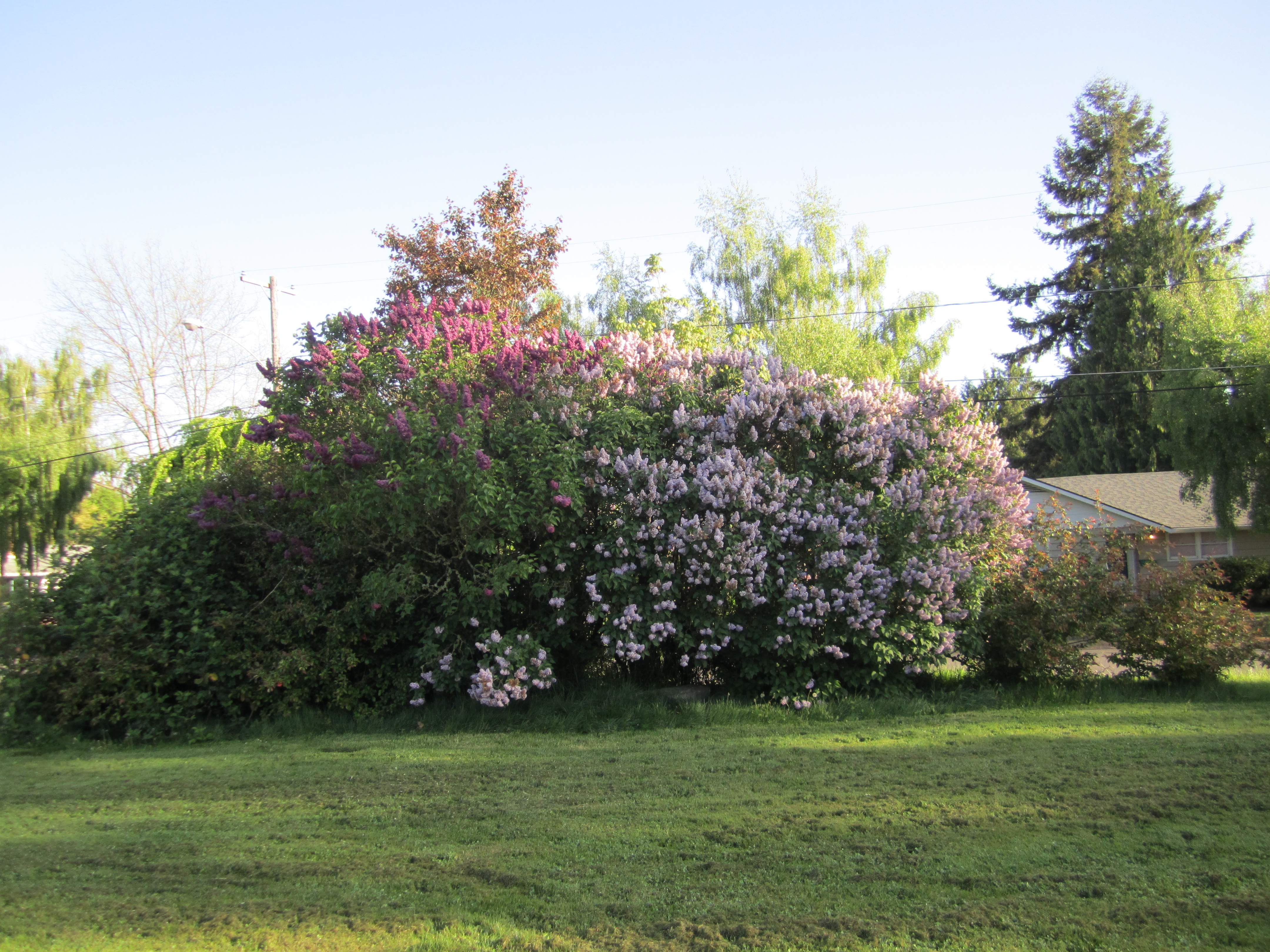 A profusion of lilacs in the backyard