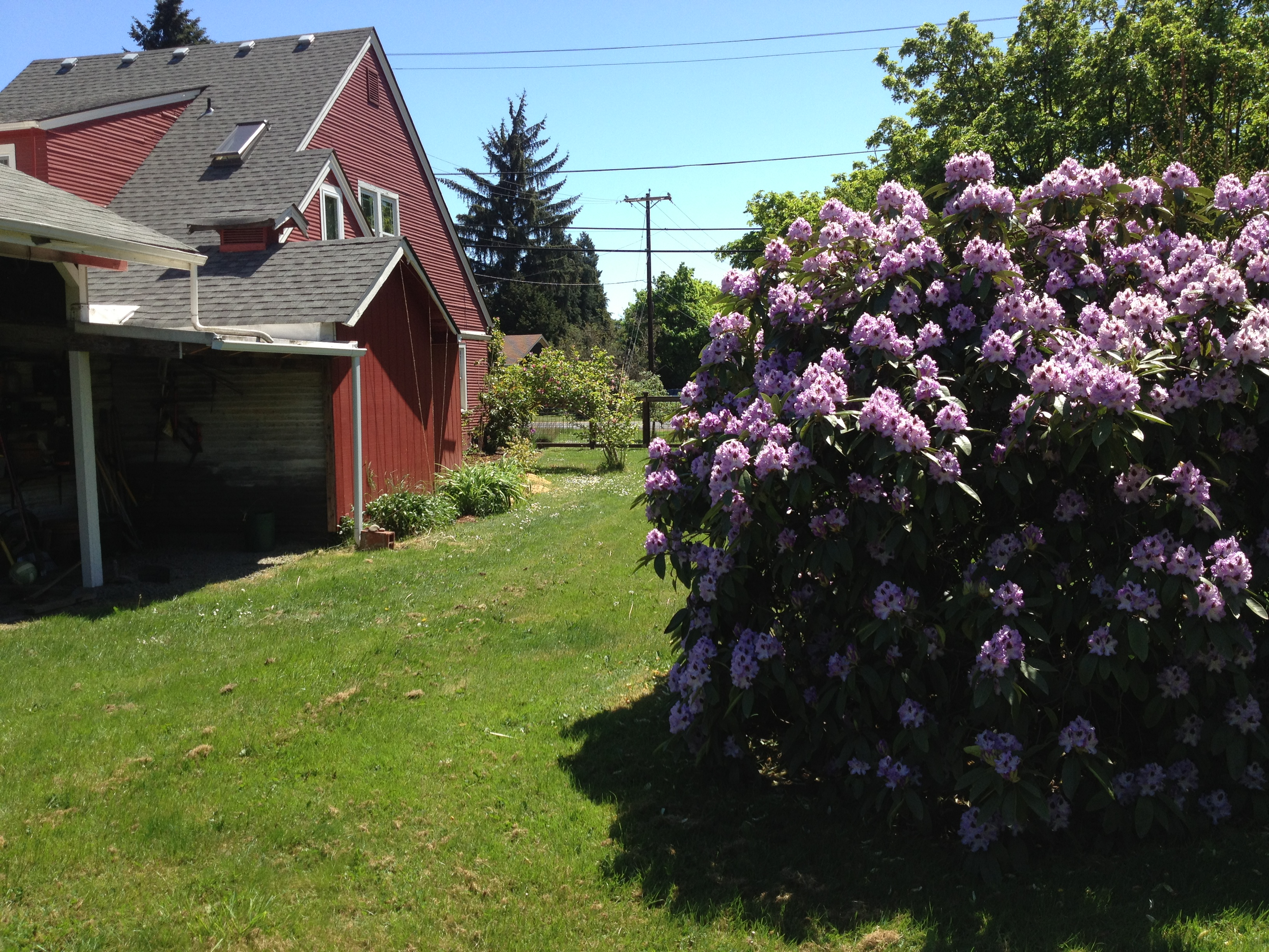 The gargantuan purple rhododendron (why is that word so hard to spell?) on the side of the house.