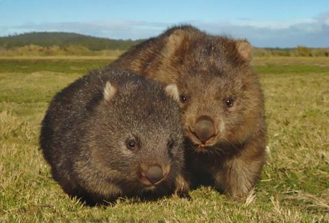 Wombats_fs